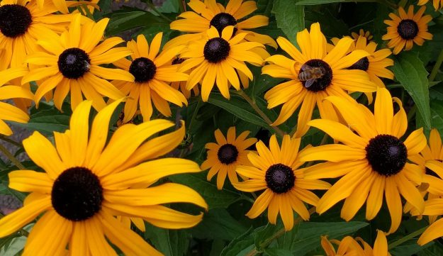 busy-bee-on-black-eyed-susan-2674258_1920